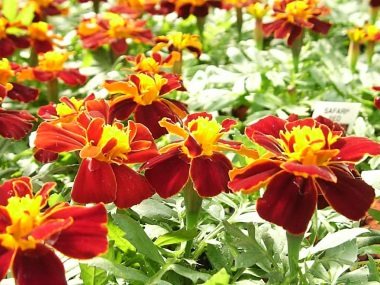 Marigolds Dwarf Safari Red