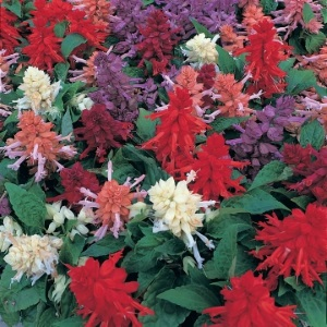 Splendens Sizzler Mix