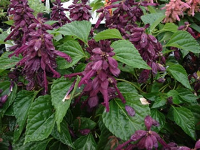 Splendens Sizzler Purple